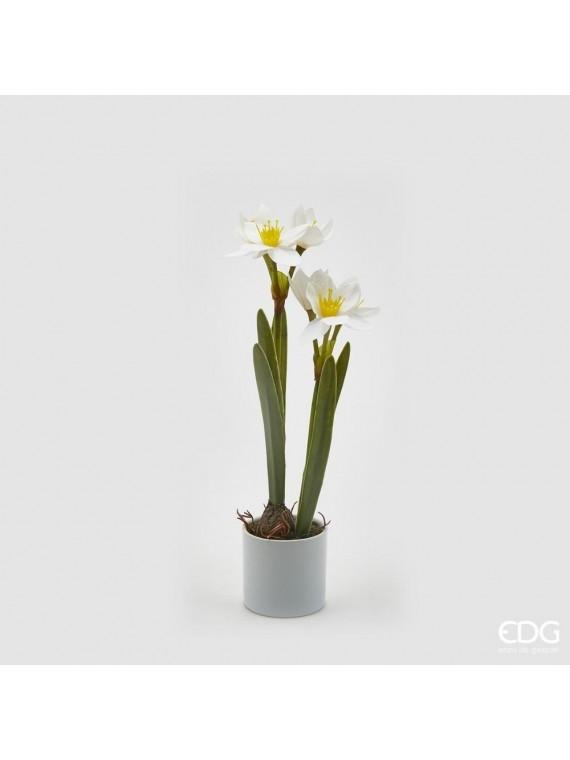 Edg narciso real con vaso h38