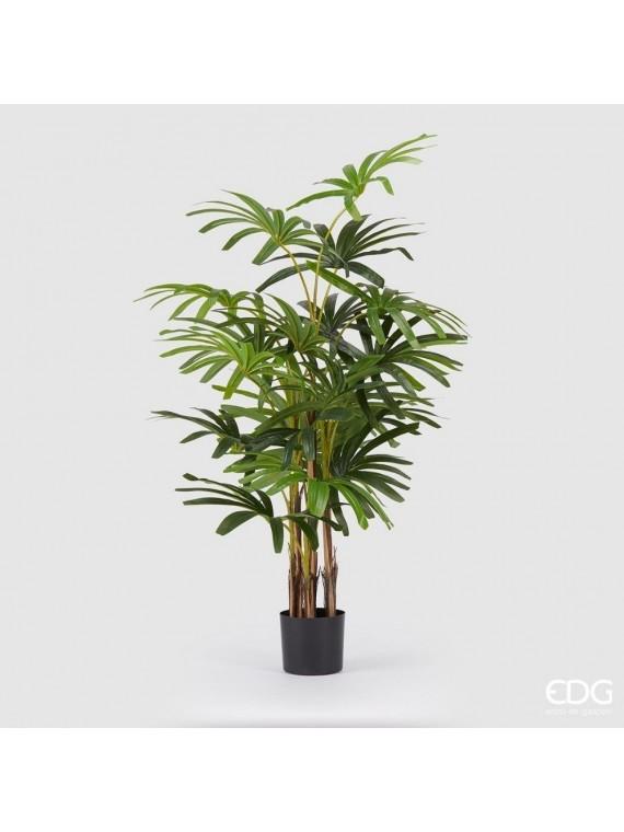 Edg palma rapisgracilis con vaso h160