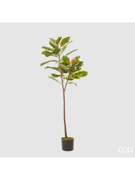 Edg ficus pianta con vaso h150